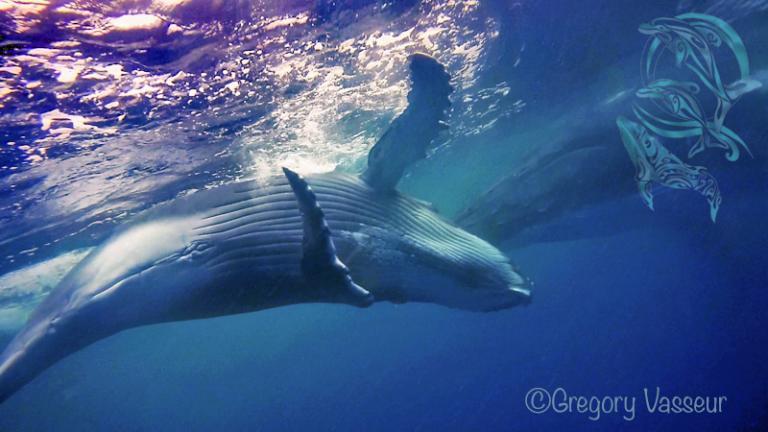 baleines moorea - ©G.Vasseur