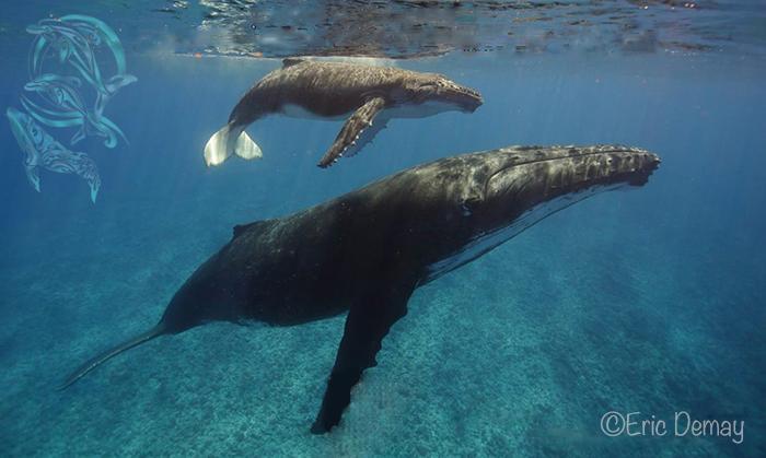 baleines moorea-©E.Demay