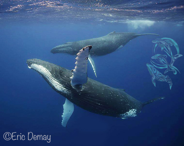 whales moorea - ©E.Demay