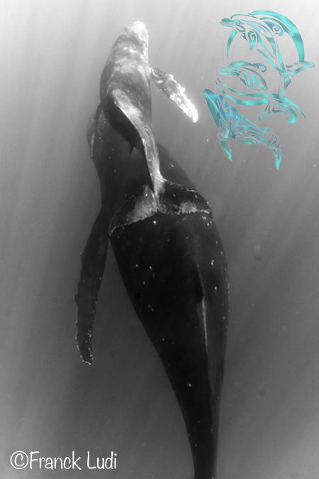 baleines moorea