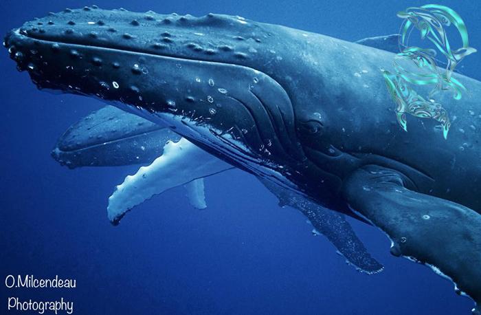 baleines moorea - ©O.Milcendeau