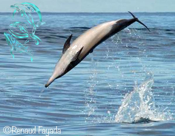 dauphins moorea - ©R.Fayada