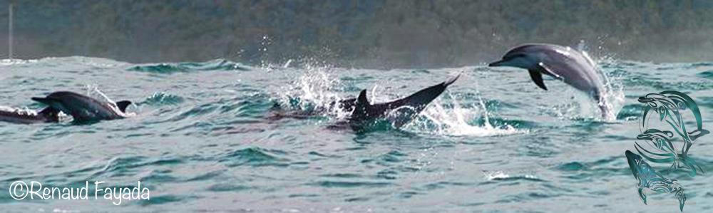 spinner dolphins moorea - ©R.Fayada