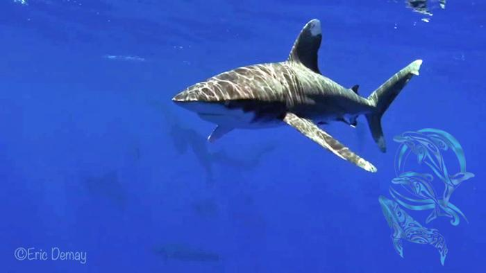 "requin oceanique ""parata"" - ©E.Demay"