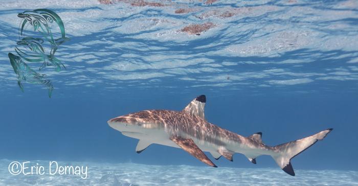 requins moorea - ©E.Demay