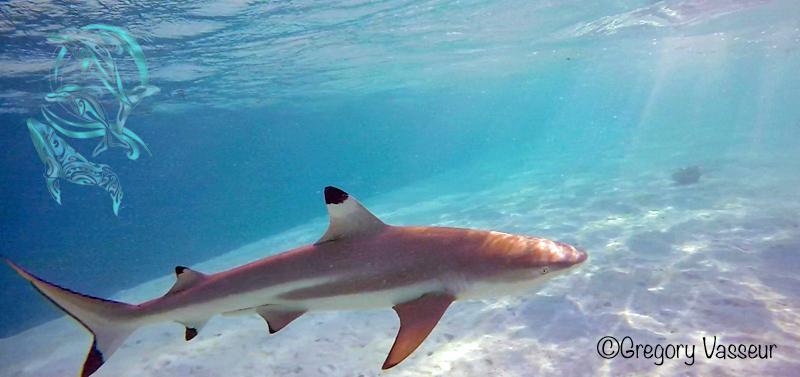 sharks moorea -©G.Vasseur