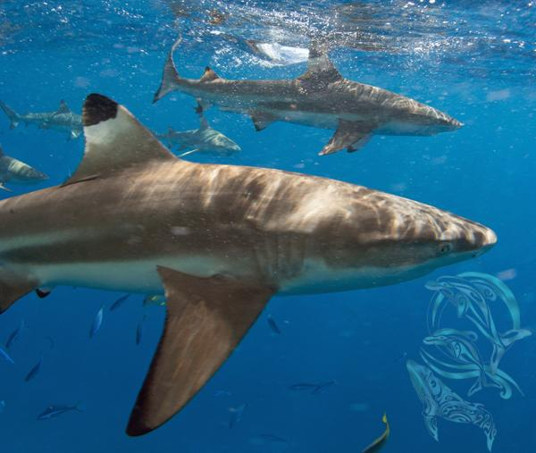 requins moorea