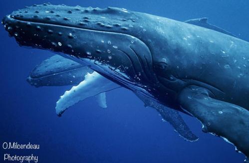 whales moorea-©O.Milcendeau