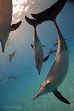 dolphins moorea-©E.Demay
