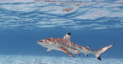 Requin de may