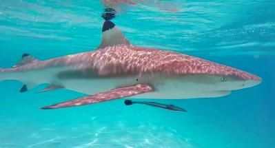 sharks lagoon tour moorea