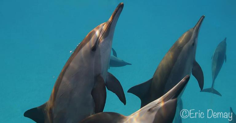 spinner dolphins moorea - ©E.Demay