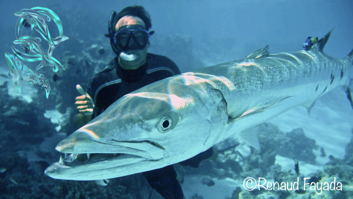 Barracuda moorea - Heifara and